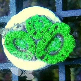 Acanthastrea Screaming Green - 5C3L140318