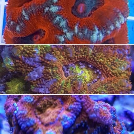 Pack mix 3 corales SPS Acanthastrea